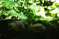 piranha Стоковые Изображения RF