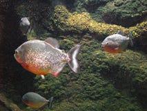 piranha Arkivbild