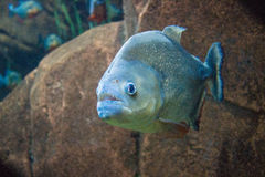 piranha Fotografia de Stock Royalty Free