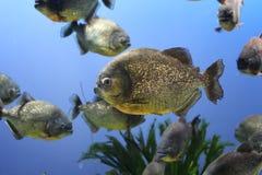 piranha Stock Afbeeldingen