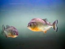 Piranha arkivfoto
