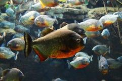 piranha Stockfotografie