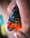Piranha, Amazonas. Piranha caught in a river in Amazonas royalty free stock image