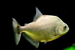 Piranha in the aquarium. Stock Images