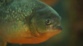 Piranha at aquarium stock video footage
