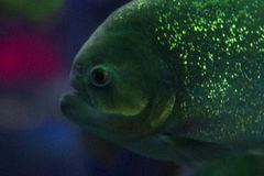 Piranha in the aquarium. fish with shiny scales. dangerous fish. bright light Royalty Free Stock Photo