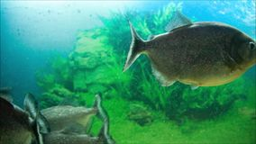 Piranha in the aquarium. Piranha swim in the aquarium stock footage