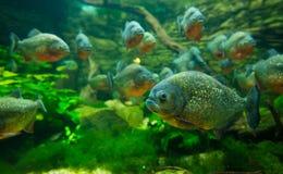 Piranha in aquarium. Tropicarium,colorful Royalty Free Stock Images