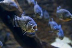 Piranha-Ausstellung Lizenzfreies Stockfoto