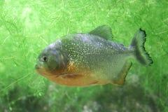 Piranha royaltyfri bild