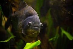piranha cachama Стоковое Фото