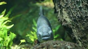 Piranha stock footage