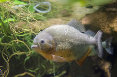 Piranha close-up Stock Images