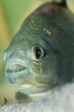 Piranha closeup. Piranha.predatory fish found in South America that attacks other fish animals and occasionally humans Stock Images