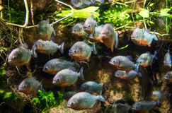 Piranha - Colossoma macropomum Stock Photography
