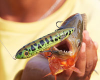 Piranha com atração da pesca Fotografia de Stock Royalty Free