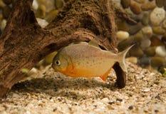 Piranha dans l'eau Photographie stock libre de droits