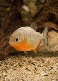 Piranha dans l'eau Photo libre de droits