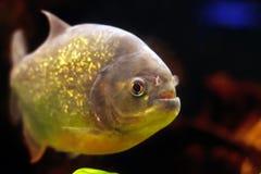 Piranha de natation Images libres de droits