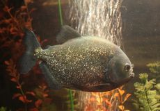 piranha de poissons Photographie stock