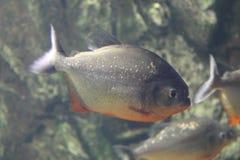 Piranha de poissons dans l'aquarium Photographie stock libre de droits