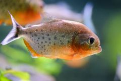 Piranha del pesce dell'acquario, contenuto in uno stagno artificiale immagini stock libere da diritti