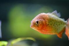 Piranha del pesce dell'acquario, contenuto in uno stagno artificiale fotografia stock