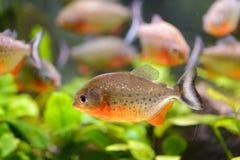 Piranha del pesce dell'acquario, contenuto in uno stagno artificiale fotografia stock libera da diritti