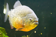 Piranha, der das Fleisch wartet stockfotos