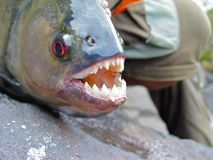 Piranha do preto das Amazonas com dentes expostos fotografia de stock
