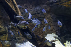 Piranha Exhibit Royalty Free Stock Photography