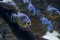 Piranha Exhibit Royalty Free Stock Photo