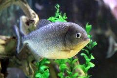Piranha-Fische Stockbild