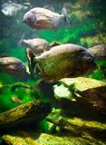 Piranha fish. Vibrant underwater aquatic life showing a swarm of gold-sprinkled piranhas swimming Stock Photography