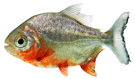 Free Piranha Fish Stock Photography - 17283022