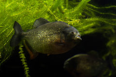 Piranha fish Stock Image