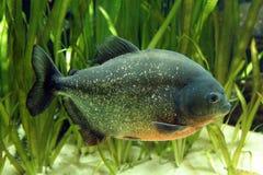 Piranha Fish. In natural environment Royalty Free Stock Images