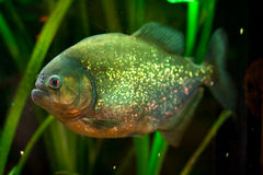 Piranha fish. In natural environment Stock Photography