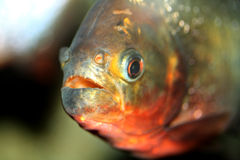 Piranha Fish. Orange and Silver Piranha fish Stock Photos