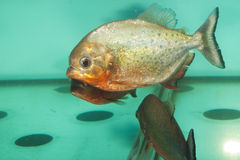 Piranha Fish in Aquarium Stock Images