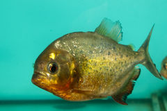 Piranha Fish in Aquarium Stock Photos
