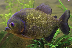 Piranha fish Royalty Free Stock Photos