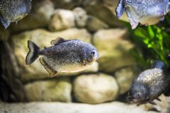 Piranha fish in aquarium. Piranha fish - Kolobrzeg aquarium tank Royalty Free Stock Image