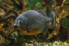 Piranha fish in aquarium Stock Photos