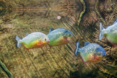 Piranha fish in an aquarium Royalty Free Stock Photos