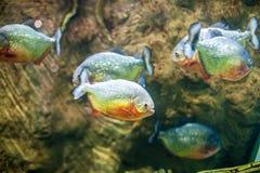 Piranha fish in an aquarium Royalty Free Stock Image