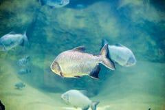 Piranha fish in an aquarium Royalty Free Stock Photo