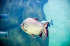 Piranha fish in an aquarium. And underwater rocks Royalty Free Stock Photos