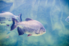 Piranha fish in an aquarium Royalty Free Stock Photos