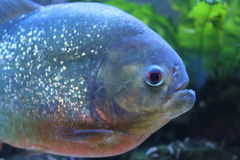 Piranha fish Stock Images
